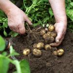Picnic Møllehøj Kartofler